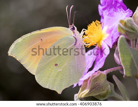 Gonepteryx cleopatra, Cleopatra butterfly - stock photo