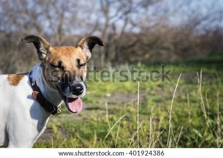good fun cheerful dog fox terrier on a green lawn - stock photo