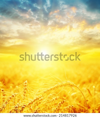 good sunset and golden harvest - stock photo