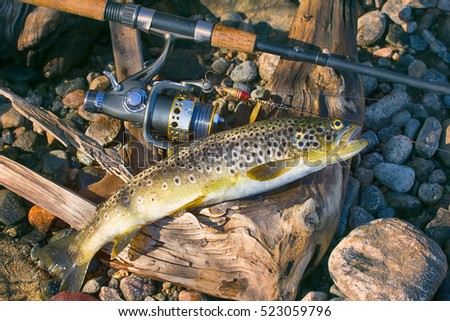 Good trophy. Caught by spinning brown trout (Salmo trutta fario) is in water on pebbles. Picturesque driftwood and spinning like still life