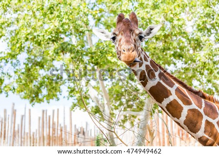 Goofy Giraffe.  Neck and head of giraffe looking right at viewer with his tongue sticking out to the side.