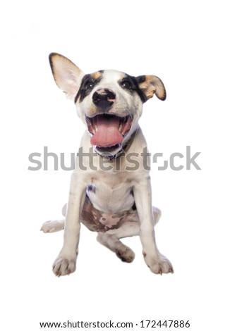 Goofy puppy laughing with mouth open isolated on white