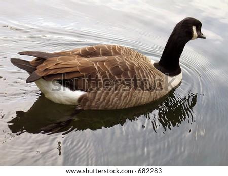Goose - stock photo