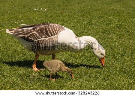 goose and gosling grazing on meadow - stock photo