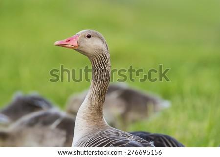 goose (Anser anser) - Lake Neusiedl - stock photo