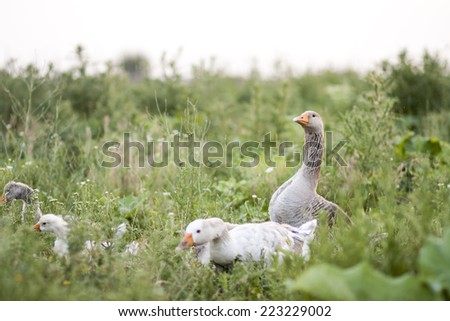 Goose family in the field with tall herbs