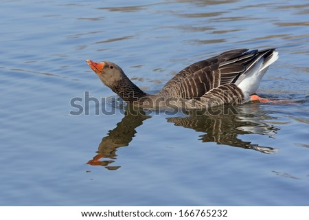 Goose floating in the water in a threatening posture