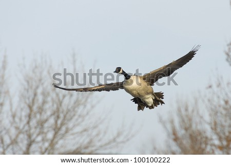 Goose Flying in Front of Trees - stock photo