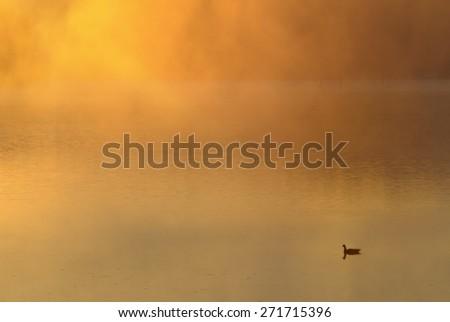 Goose on Fog Covered Lake at Sunrise - stock photo
