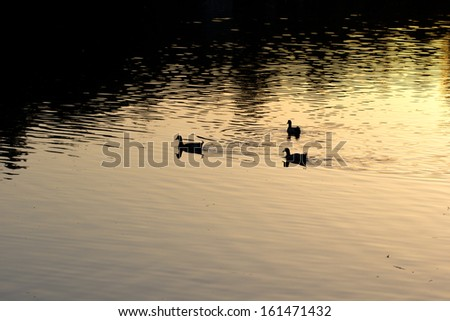 goose on pond in nature at sunset - stock photo