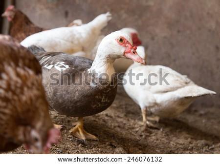 Goose on the farm - stock photo