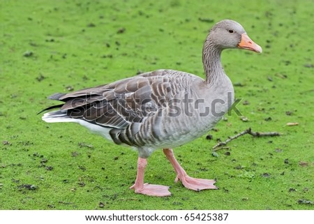 goose on the green lawn - stock photo