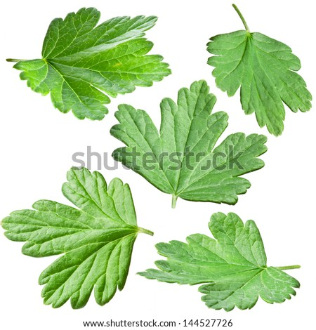 Gooseberries leaves isolated on a white background.