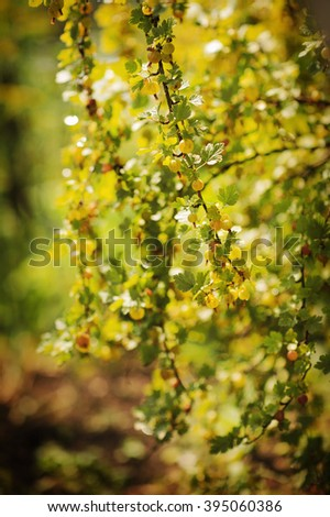 Gooseberry. Fresh and Ripe Organic Gooseberries Growing in the Garden. Sunlit - stock photo