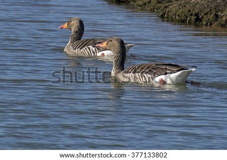 Gooses,Anser anser - stock photo