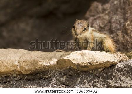 gopher between rocks - stock photo