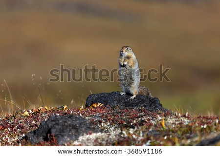 Gopher in stones. Russia, Kamchatka