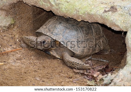 Gopher Tortoise burrowed in it's mound. - stock photo