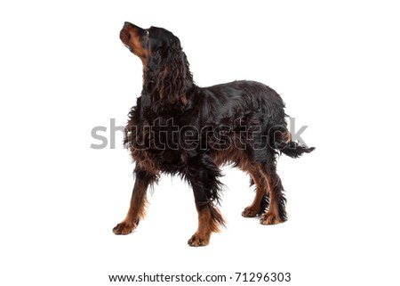Gordon Setter dog standing and looking forward, on a white background