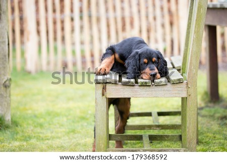 Gordon setter puppy dog playing in a meadow on the grass and with a chair, leading to a cute image - stock photo