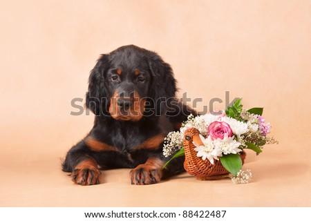 gordon setter's puppy with flowers, studio, horizontal - stock photo