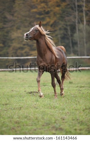Gorgeous arabian stallion with long flying mane running on pasturage in autumn