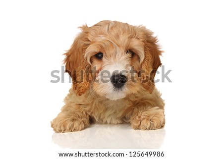 Gorgeous cavapoo puppy looking your way, isolated on white.