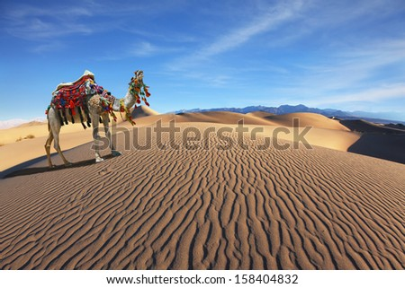 Gorgeous dromedary yells at the sand dunes. Dromedary decorated with picturesque harness and bright red blanket - stock photo