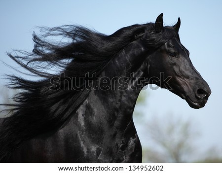 Gorgeous friesian stallion with long mane running on pasturage in spring - stock photo
