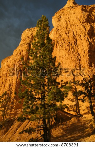 Gorgeous fur tree towering in front of the Bryce Canyon wall at sunrise - stock photo