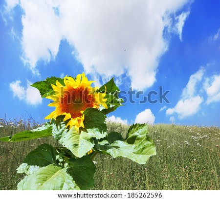 Gorgeous huge sunflower on a field overgrown with weeds. Kibbutz in southern Israel - stock photo