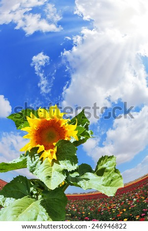 Gorgeous huge sunflower on the field of buttercups garden. Kibbutz in southern Israel - stock photo