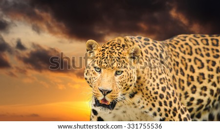 gorgeous  leopard on the sky background