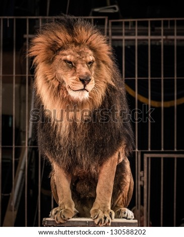 Gorgeous lion sitting in a circus arena cage - stock photo