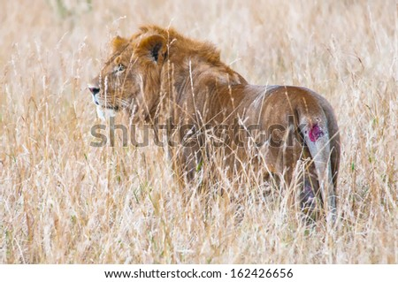 Gorgeous lion walks over the savanna for hunting