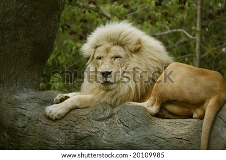 Gorgeous Male African Lion resting in a tree - stock photo
