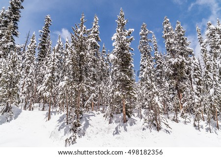 Gorgeous May day in Yellowstone National Park with light snow falling on an already beautiful landscape of snow-covered lodgepole pines (Pinus contorta)