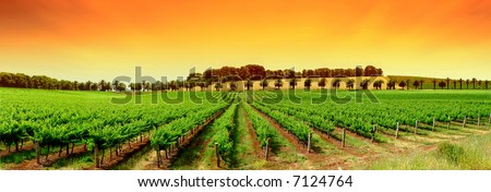Gorgeous Orange Sky over Green Vineyard - stock photo