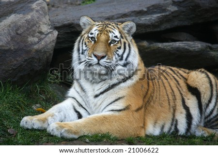 Gorgeous orange tiger staring at the camera - stock photo