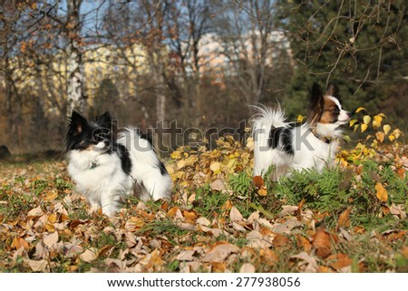 Gorgeous papillons standing together in autumn forest - stock photo