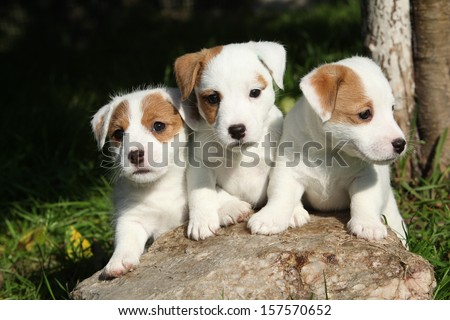 Gorgeous puppies of Jack Russell Terrier in the garden - stock photo