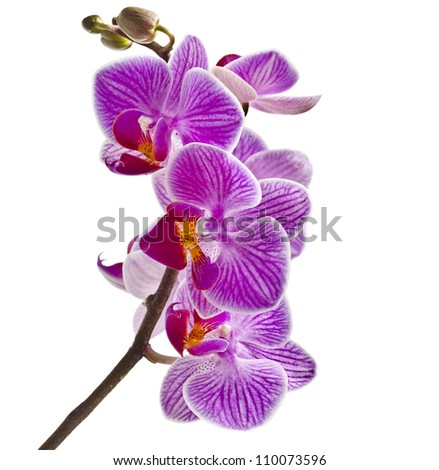 gorgeous purple orchid stem isolated on white background - stock photo