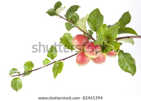 Gorgeous ripe apples on a branch - stock photo