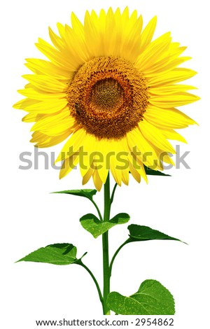Gorgeous sunflower with green leaves. Isolated over white background