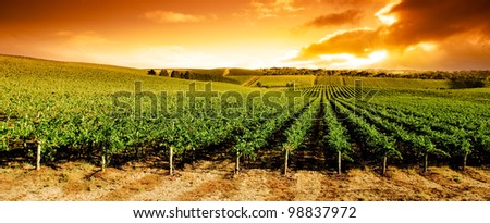 Gorgeous sunset over beautiful green vines - stock photo