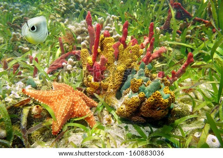 Gorgeous underwater colors of sea sponges with starfish and butterfly fish in a coral reef, Caribbean sea - stock photo