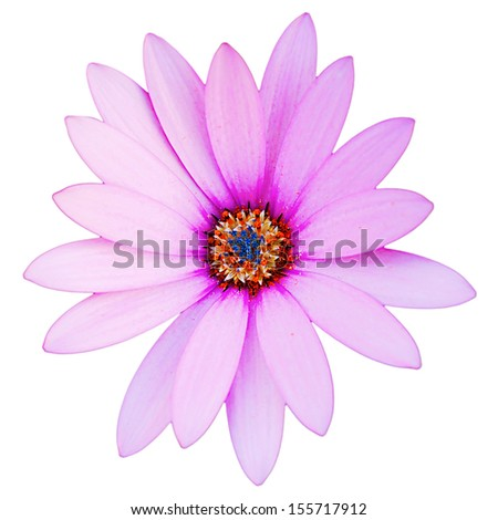 gorgeous violet daisy flower isolated on white background - stock photo