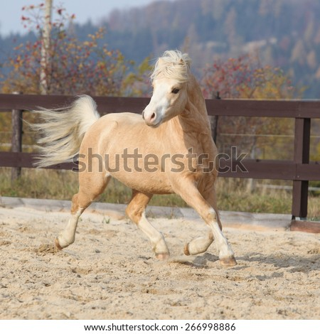 Gorgeous welsh mountain pony running in arena, with autumn background - stock photo