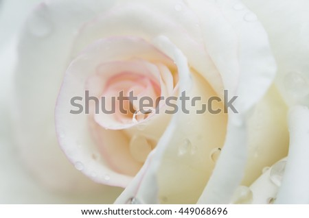 gorgeous white rose with rain drop ideal for wadding and love purposes - stock photo