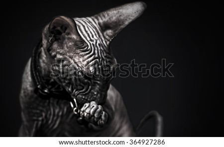 gorgeous young don sphynx kitten licks and cleans his  foot in black background, naked cat - stock photo